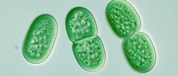 Sinilevät ovat yhteyttäviä bakteereja.