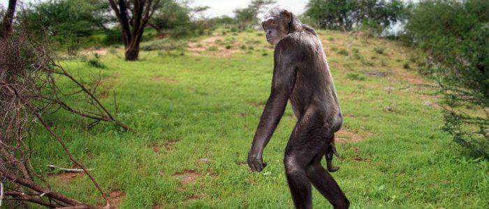 Varhainen pystyasennossa kulkenut apinaihminen.